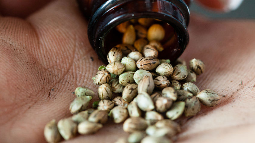 Best cannabis seeds for beginners