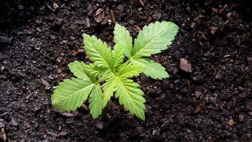 cannabis-plant-in-seedlig-stage