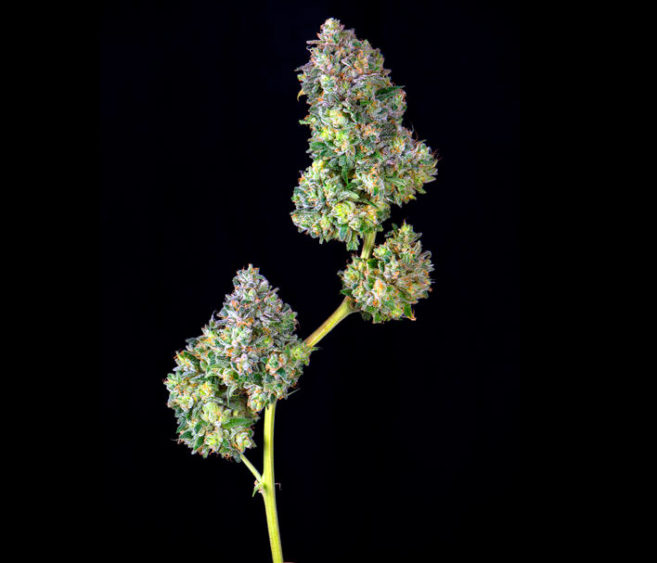 How To Dry Weed (with Pictures): Expert Drying and Curing Guide