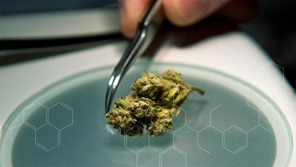 medical cannabis opioids