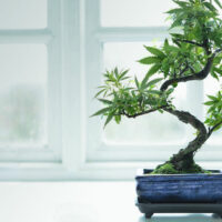 How to Grow a Cannabis Bonsai Tree from Scratch (Step by Step)