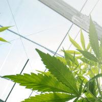 California produced over 13.5 million pounds of marijuana in 2016