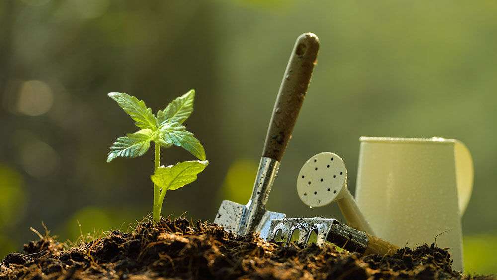 how to grow weed outdoors in soil