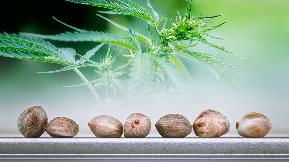 cannabis starting materials