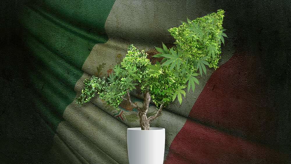 Cannabis bonsai with mexican flag