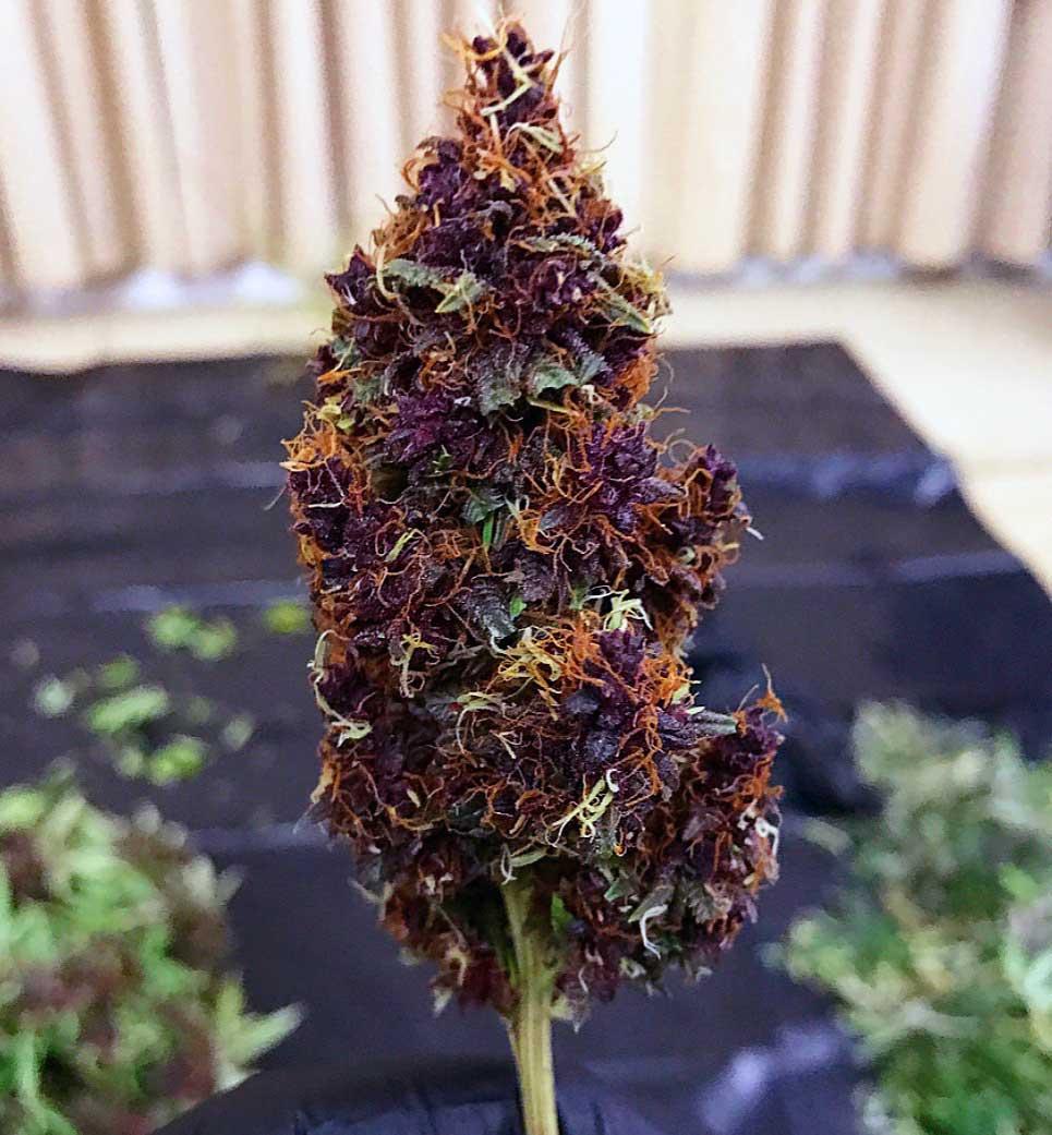 Purple Kush visual aesthetics