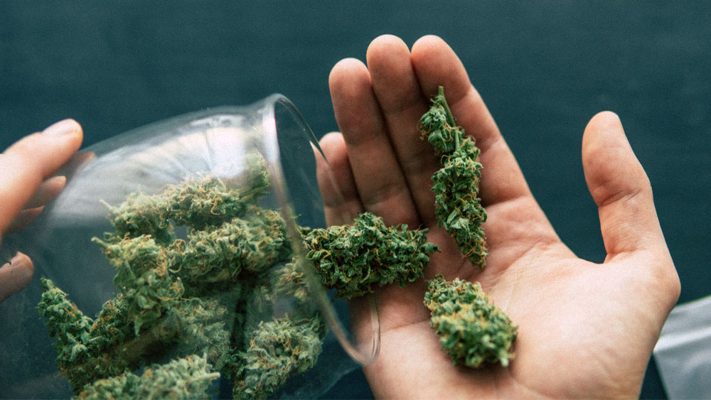 Dried cannabis buds in a hand