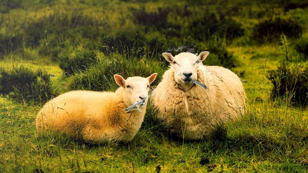 Sheep on weed