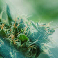What Is Kush Cannabis and Why Is It So Popular?