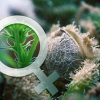 3 Best Ways to Feminize Cannabis Seeds