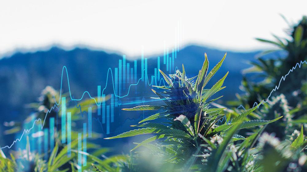 testing cannabis