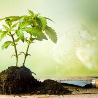 How to Start Your Own Marijuana Seeds Breeding Program?