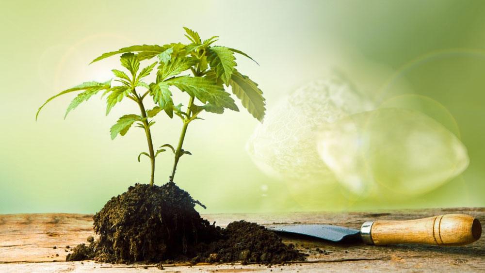 Marijuana seeds breeding program