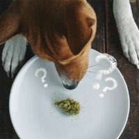 What to Do If Your Dog Ate Weed? First Response Guide