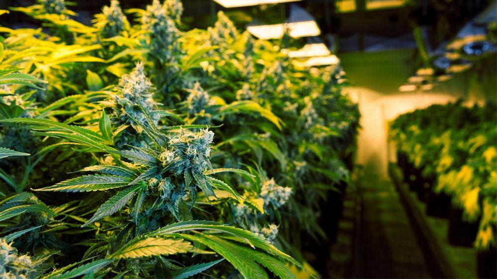 cannabis bust
