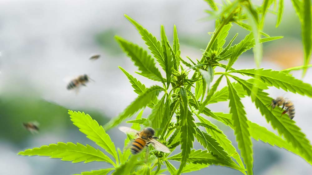 Bees-and-cannabis
