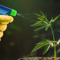 Pesticides in Marijuana: Helping the Illicit Market for Years