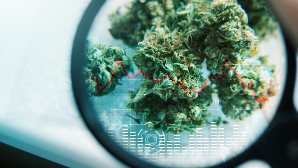 Cannabis leaf under a magnifying glass