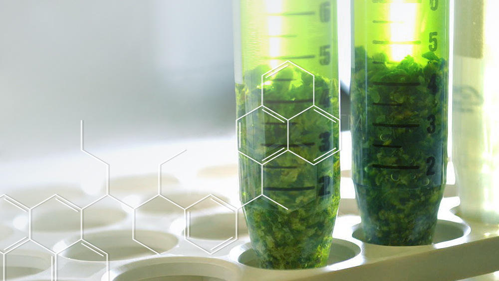 Cannabis in research lab tubes